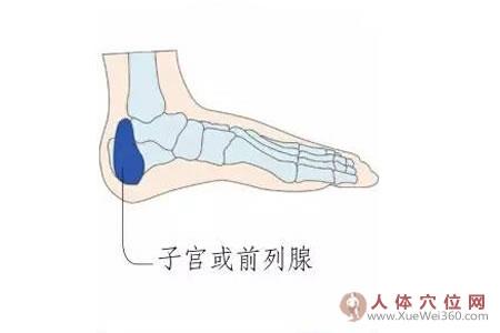 足内侧反射区–子宫或前列腺