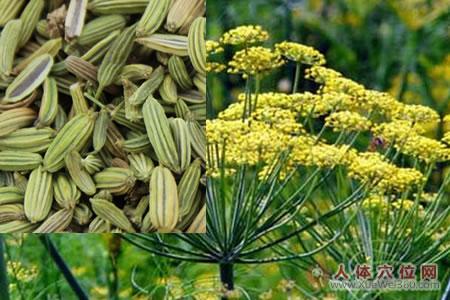 小茴香植物形状图
