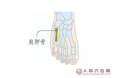 脚底穴位图(足内侧反射区)--肩胛骨位置