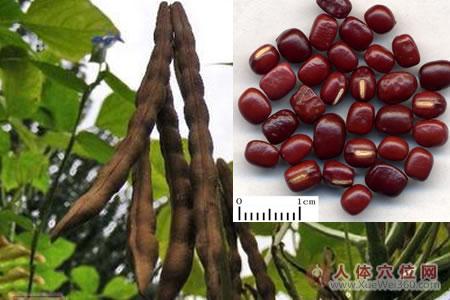 赤小豆药材图