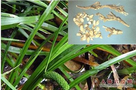 石菖蒲植物形态图