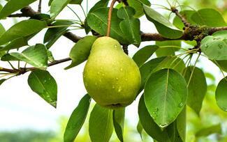 绿皮梨作用与功效及其服用忌讳