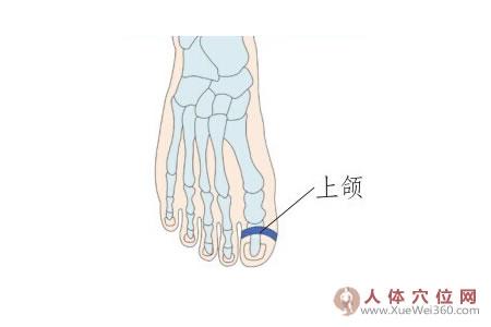 脚底穴位图(足背反射区)–上颌