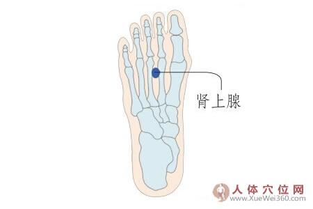 脚底穴位图(脚底反射区)--肾上腺位置