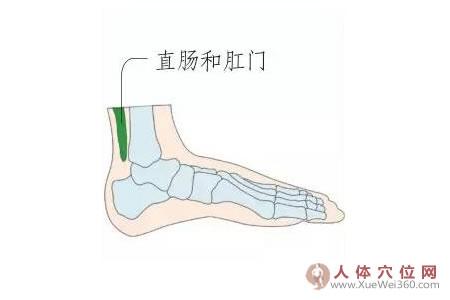 足内侧反射区–直肠和肛门