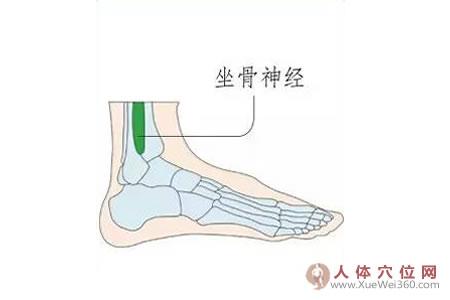 足内侧反射区–坐骨神经