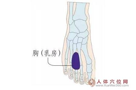 脚底穴位图(足内侧反射区)--胸(ru房)位置