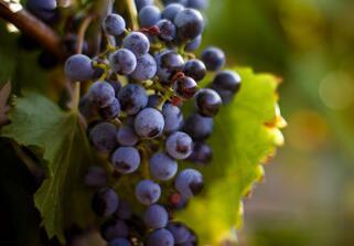 葡萄太酸了怎么吃比较好呢