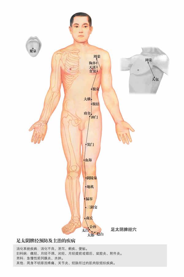 足太阴脾经-人体经络图 flash动画讲解