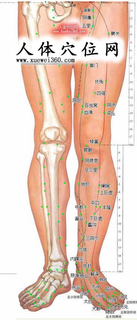 下肢内侧穴位高清彩图