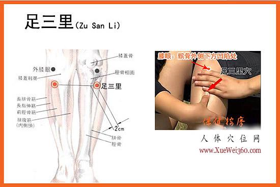 足三里穴的位置解剖图