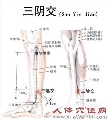 三阴交解剖图