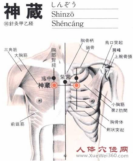 神藏穴生理解剖图