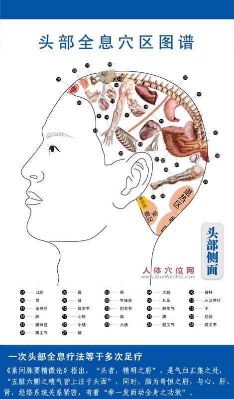 头部全息穴区图谱:头部侧面