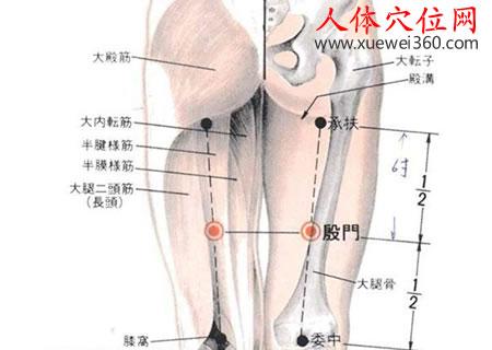 殷门穴的准确位置图及解剖图