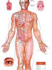 人体经络穴位图高清男性版针灸挂图正面