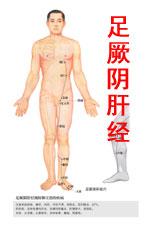 足厥阴肝经高清版人体穴位图