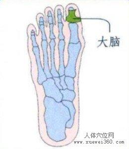 脚底穴位图(脚底反射区)--大脑位置