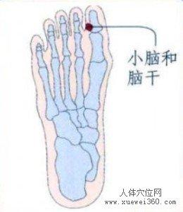 脚底穴位图(脚底反射区)--小脑和脑干位置