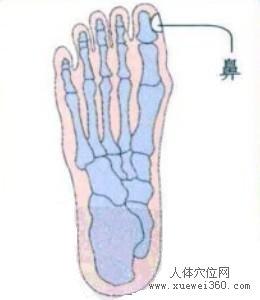脚底穴位图(脚底反射区)--鼻位置