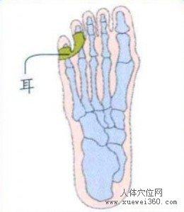 脚底穴位图(脚底反射区)--耳位置