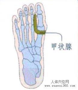 脚底穴位图(脚底反射区)--甲状腺位置