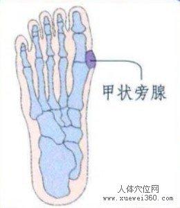 脚底穴位图(脚底反射区)--甲状旁腺位置