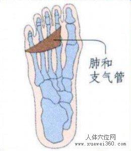 脚底穴位图(脚底反射区)--肺和支气管位置