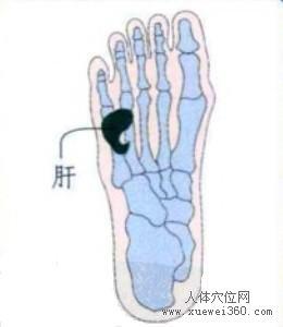 脚底穴位图(脚底反射区)--肝位置