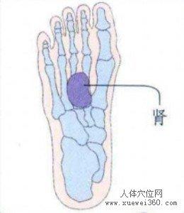 脚底穴位图(脚底反射区)--肾脏位置