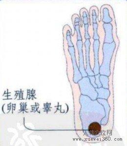 脚底穴位图(脚底反射区)--生殖腺位置