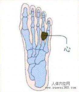 脚底穴位图(脚底反射区)--心位置